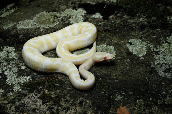 Wall Art - Photograph - Albino Ball Python On A Rock by David Kenny