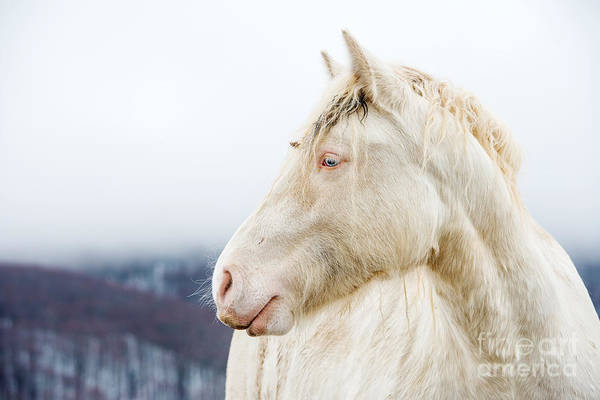 Albino Horse With Eyes Blue On The Snow Art Print