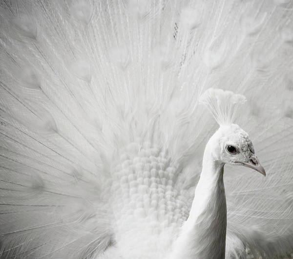 Photograph - Albino Peacock In Nancy, France by Michael Marquand