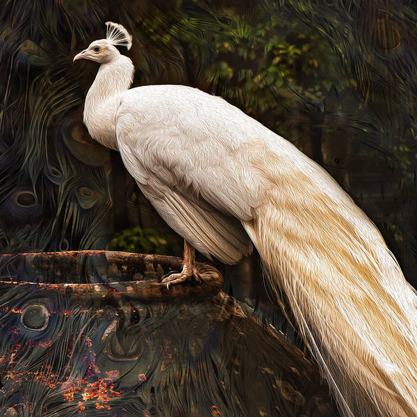 Photograph - Albino Square Peacock by Janal Koenig