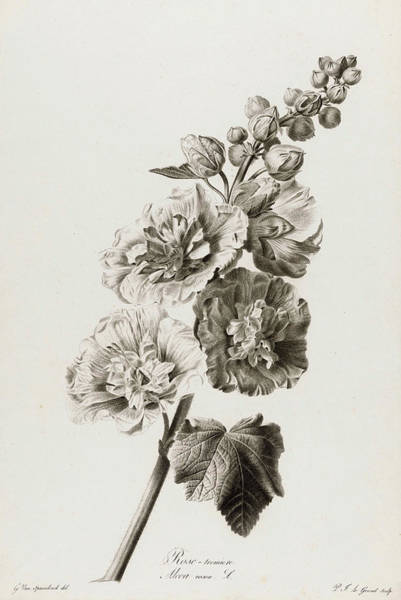 Wall Art - Painting - Alcea Rosea, 1801 by Pierre Francois Legrand