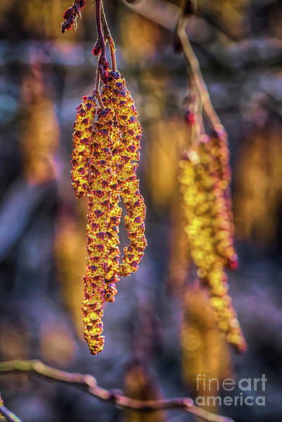 Wall Art - Photograph - Alder Blossoms 2 by Veikko Suikkanen