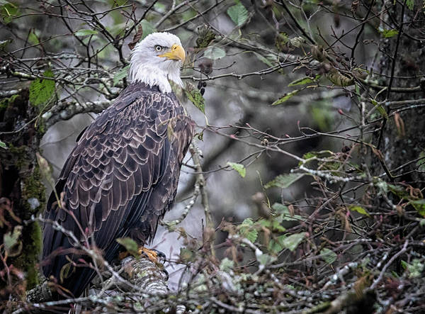 Photograph - Alder Eagle by Randy Hall