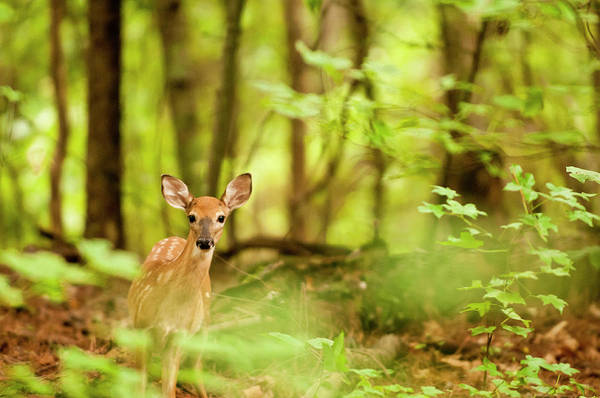 Fawn Photograph - Alert Fawn by Vicm