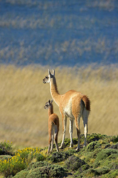 Antartica Wall Art - Photograph - Alert Guanaco Young Calf And Its Mother by Eastcott Momatiuk