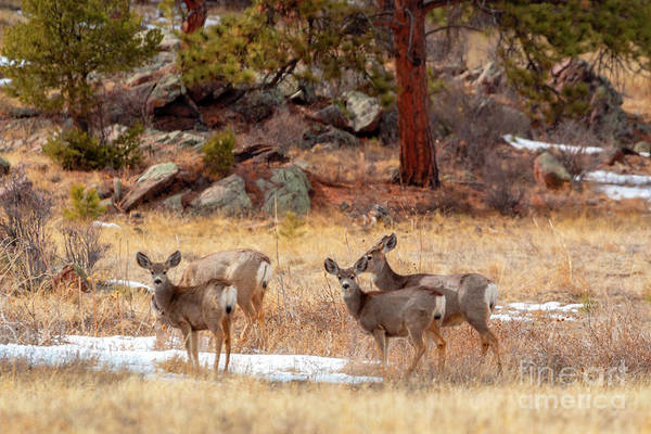 Photograph - Alert Herd Of Colorado Deer by Steve Krull