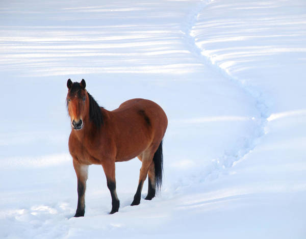 Mare Photograph - Alert Horse Standing On Path I by Anne Louise Macdonald Of Hug A Horse Farm