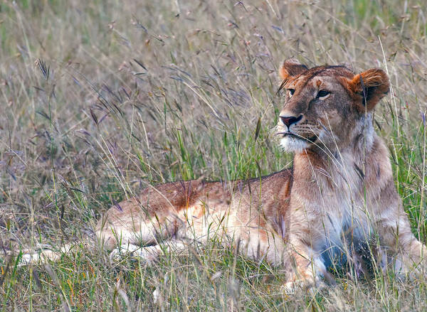 Wall Art - Photograph - Alert Lioness On The African Plain by Daniel Hagerman