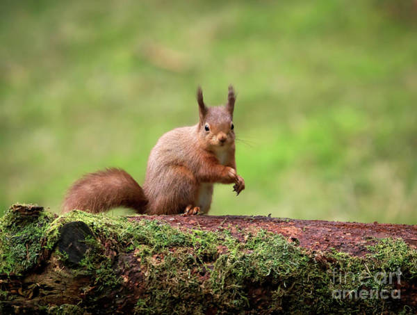 Wall Art - Photograph - Alert Red Squirrel Sciurus Vulgaris by Louise Heusinkveld