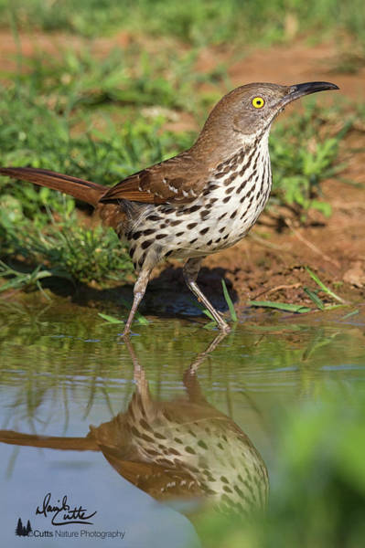 Photograph - Alert Thrasher by David Cutts