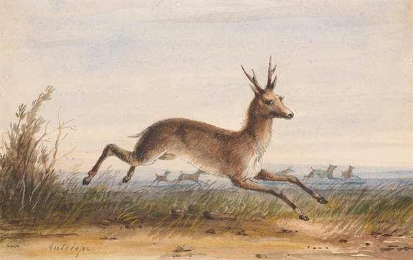 Wall Art - Painting - Alfred Jacob Miller  1810-1874  Antelope by Celestial Images