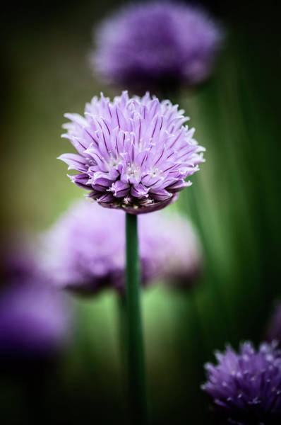 Chive Photograph - All Alone With My Thoughts by Matthew Blum