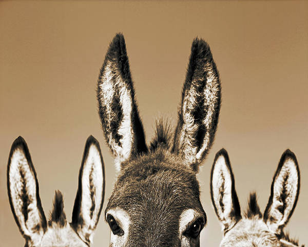 Don Photograph - All Ears, Sepia by Don Schimmel