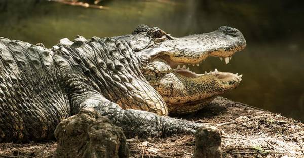 Photograph - Alligator At Lowry Park Zoo by Richard Goldman