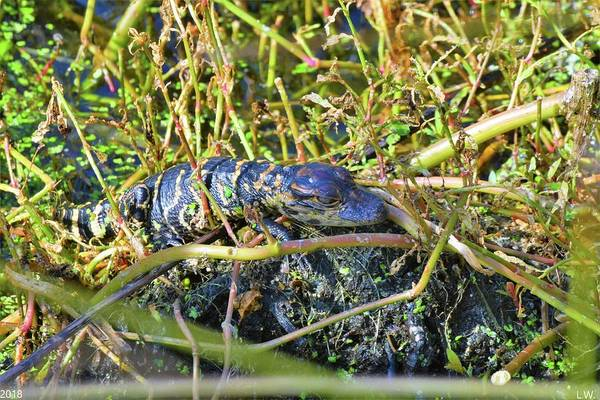 Photograph - Alligator Baby 2 by Lisa Wooten