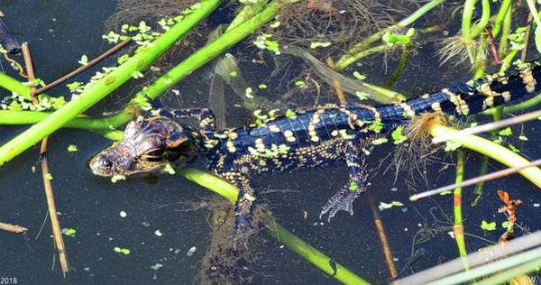 Photograph - Alligator Baby Panorama by Lisa Wooten