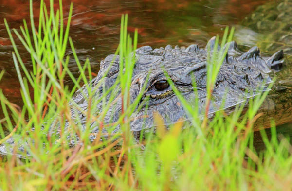 Ding Photograph - Alligator, Ding Darling National by William Sutton
