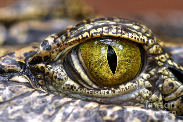Skin Wall Art - Photograph - Alligator Or Crocodile Animals Eyes by Dangdumrong