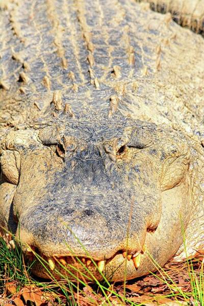 Photograph - Alligator Vertical by Lisa Wooten