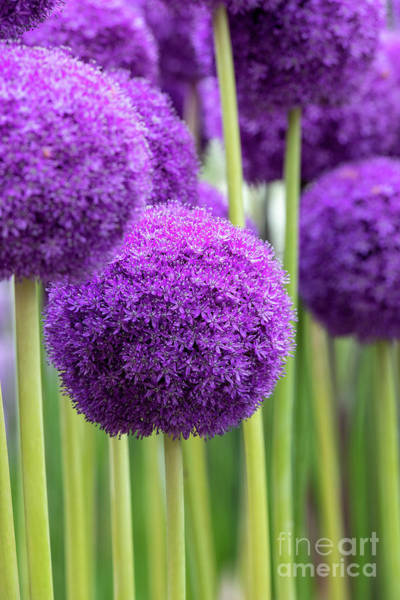 Wall Art - Photograph - Allium Ambassador Flowers by Tim Gainey