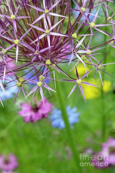 Photograph - Allium Christophii Colour by Tim Gainey