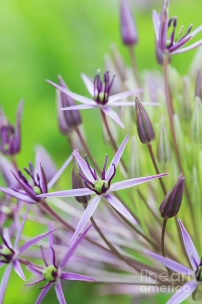 Wall Art - Photograph - Allium Christophii Flower Macro by Tim Gainey