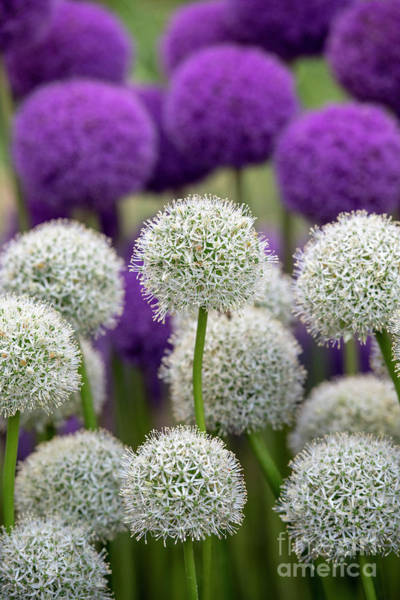 Wall Art - Photograph - Allium Display by Tim Gainey