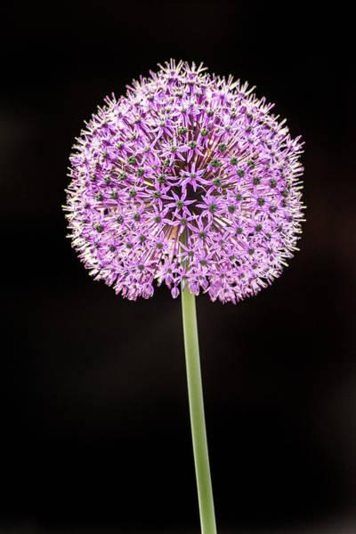 Photograph - Allium by Don Johnson