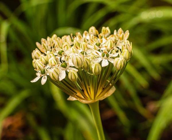 Photograph - Allium by Keith Smith