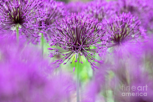 Wall Art - Photograph - Allium Purple Rain Flowers Abstract by Tim Gainey