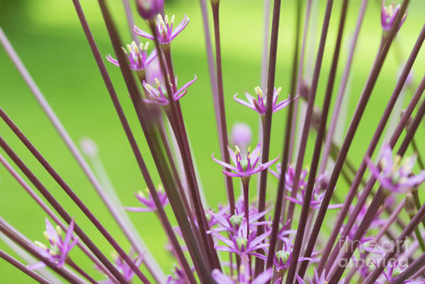 Wall Art - Photograph -  Allium Schubertii Flowering by Tim Gainey