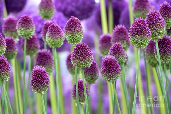 Wall Art - Photograph - Allium Sphaerocephalon Flowers Pattern by Tim Gainey