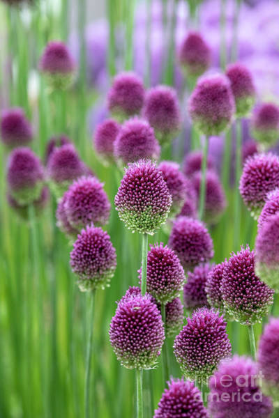 Wall Art - Photograph - Allium Sphaerocephalon Flowers  by Tim Gainey