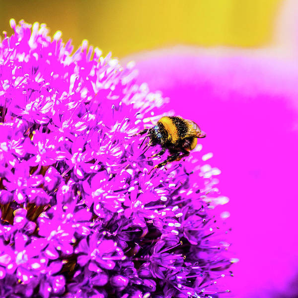 Digital Art - Allium With Bee 2 by Le Comp