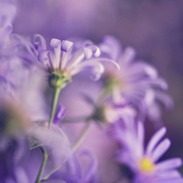 Wall Art - Photograph - Alluring Asters by Jody Trappe Photography