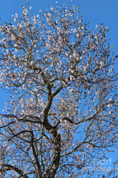 Photograph - Almond Blossom by Angelo DeVal