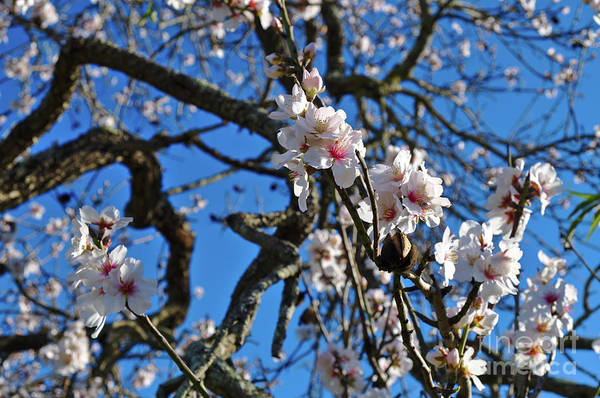 Photograph - Almond Blossom Close-up by Angelo DeVal