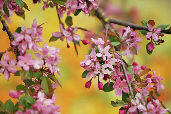 Almond Blossom Prunus Dulcis Art Print