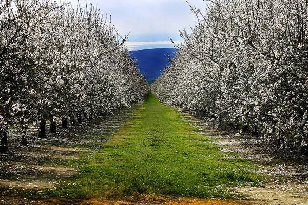 Photograph - Almond Tree Bloom by Anthony Jones