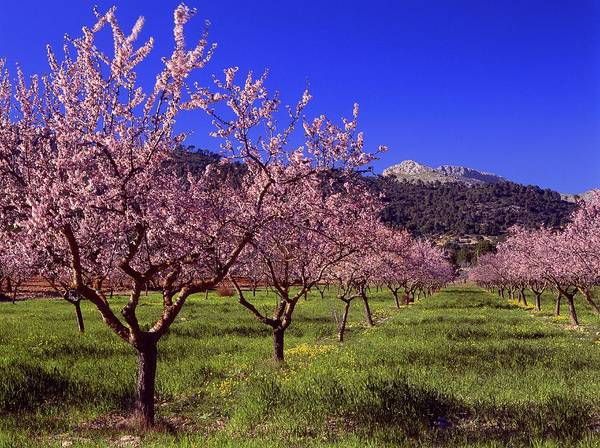 Spain Photograph - Almond Tree Blossom, Majorca, Spain by Juergen Richter / Look-foto