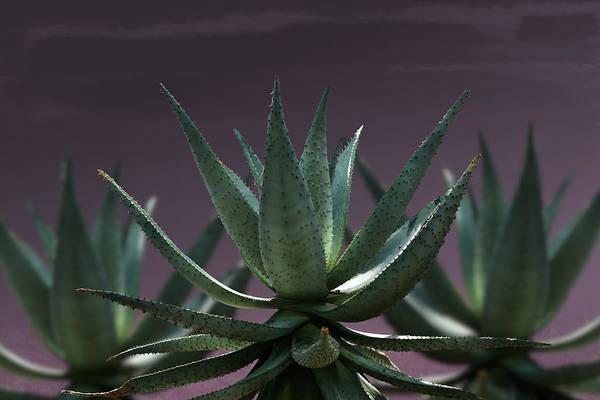 Photograph - Aloe Aloe Aloe by Debi Dalio