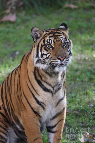 Tigger Wall Art - Photograph - Alone Tiger by Dwight Cook
