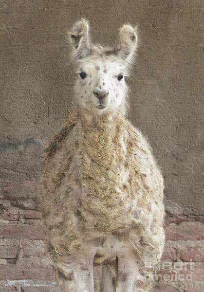 Atotonilco Photograph - Alpaca Gaze by Diana Rajala