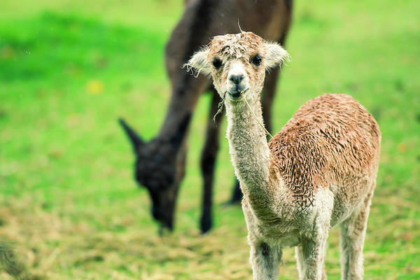 Photograph - Alpaca In A Field. by Rob D Imagery
