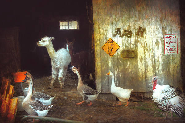 Photograph - Alpaca On The Farm by John Rivera