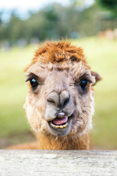 Photograph - Alpaca by Rob D Imagery