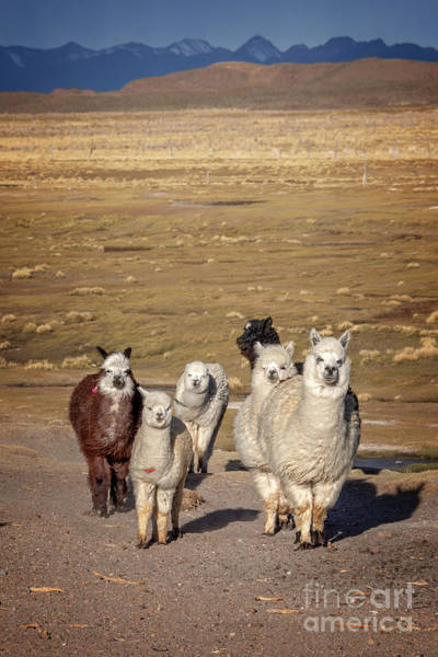Alpaca Wall Art - Photograph - Alpacas In Bolivia by Delphimages Photo Creations