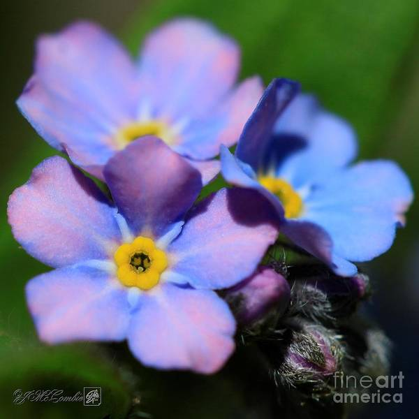 Wall Art - Photograph - Alpen Forget-me-not by J McCombie