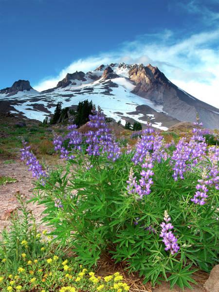 Ski Resort Photograph - Alpenglow On Flowers And Mt. Hood by Kokophoto