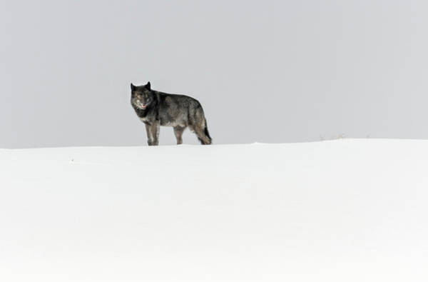 Photograph - Alpha Male by Ronnie and Frances Howard